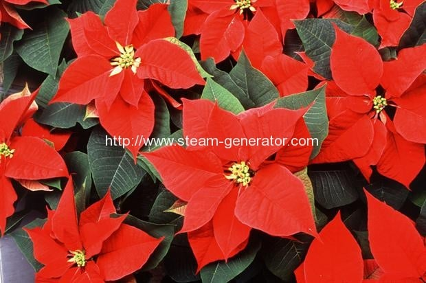 Biomass boosts poinsettia profit